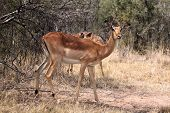 stock photo of bosveld  - Alert Impala Ewe walking through Bushveld Grass - JPG