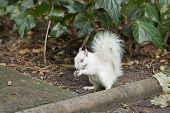 stock photo of albinos  - white albino  squirrel with red eyes and bushy tail - JPG