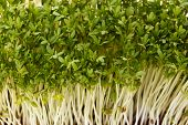 Close-up Of Healthful Garden Cress