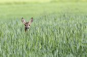 Roe-deer hidden in the Rye