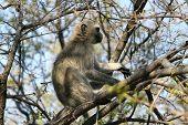 pic of bosveld  - Vervet Monkey  - JPG