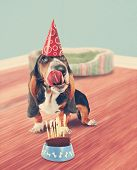 stock photo of basset hound  - a basset hound licking birthday cake done in retro vintage style for a greeting card - JPG