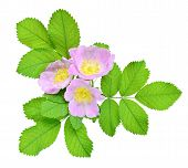 picture of wild-brier  - Three flower of pink wild rose isolated on white background - JPG