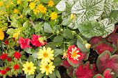 foto of celosia  - Flowers ready to be planted petunia butter daisy caladium zinnia celosia marigold caladium together close to each other - JPG