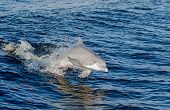 picture of gulf mexico  - A dolphin in the Gulf of Mexico on the Alabama Gulf Coast - JPG