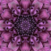 pic of kaleidoscope  - Purple Concentric of Chrysanthemum Flower Center Close - JPG