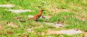 stock photo of brown thrush  - Single Brown Thrasher on the ground by the stone path deciding to go left or right - JPG