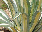 ������, ������: Thorny Aloe