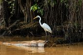 pic of rainforest animal  - An Egret watches for fish over a muddy rainforest river - JPG