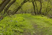 foto of blue-bell  - A trail in the woods during spring with blue bell flowers - JPG