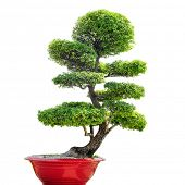 picture of plant pot  - Bonsai tree isolated on white background - JPG