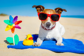 stock photo of toy dogs  - dog plays with sunglasses at the beach on summer vacation holidays - JPG