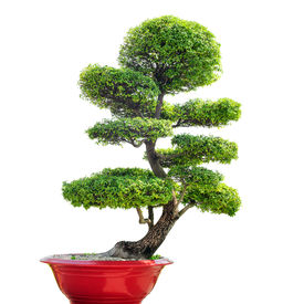 pic of bonsai tree  - Bonsai tree isolated on white background - JPG