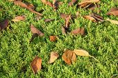 stock photo of juniper-tree  - closeup of fallen leaves on a juniper tree - JPG