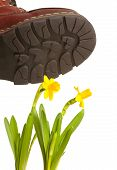 image of stomp  - Boots stomping on yellow flowers on isolated background - JPG