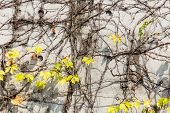 foto of creeper  - Vine creeper plant with yellow leaves - JPG