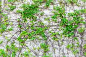 pic of creeper  - Green Creeper Plant on the Wall - JPG