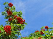 foto of rowan berry  - Autumn red rowan berries on a tree - JPG