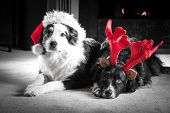 stock photo of christmas puppy  - Two Astralian Shepherd dogs dressed for Christmas in Santa hats and antlers lay by the firplace - JPG