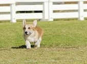 stock photo of corgi  - A young healthy beautiful red sable and white Welsh Corgi Pembroke puppy dog with a docked tail walking on the grass happily - JPG