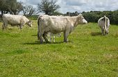 foto of charolais  - Charolais cattle are a beef breed of cattle which originated in Charolais around Charolles in France