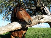 stock photo of peep  - A horse peeping from behind a tree - JPG
