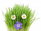 image of catnip  - periwinkle and botany daisies among vivid fresh grass - JPG