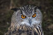pic of owl eyes  - The head of a screech owl - JPG
