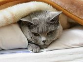 picture of portrait british shorthair cat  - British shorthair cat lying on bed under blanket