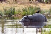 foto of hippopotamus  - adult male Hippopotamus with Ardea goliath Hippopotamus amphibius in the River Chobe Chobe National Park Botswana - JPG