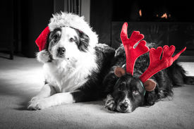 foto of puppy christmas  - Two Astralian Shepherd dogs dressed for Christmas in Santa hats and antlers lay by the firplace - JPG