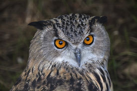 stock photo of screech-owl  - The head of a screech owl - JPG