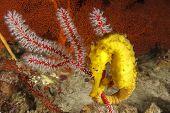 image of seahorse  - Tigertail Seahorse - JPG