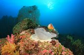 stock photo of skunk  - Skunk Clownfish on underwater coral reef - JPG