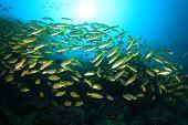 picture of bigeye  - School yellow fish - JPG