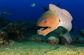 pic of biodiversity  - Giant Moray Eel - JPG