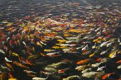 image of fish pond  - beautiful koi fish swimming in the pond Colorful Koi - JPG