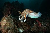picture of cuttlefish  - cuttlefish in its natural habitat - JPG