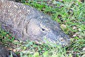 picture of komodo dragon  - Adult Komodo dragon lying in the grass Rinca Indonesia - JPG