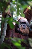 picture of orangutan  - Adult orangutan hanging from trees in the jungle - JPG
