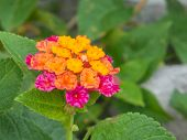 stock photo of lantana  - Close up colorful Lantana camara flowers in the garden