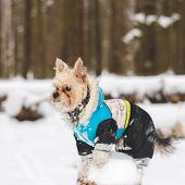 pic of no clothes  - Cute adult Yorkshire Terrier stands in winter clothes in the snow on a stump. ** Note: Visible grain at 100%, best at smaller sizes - JPG