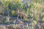 stock photo of fynbos  - Female Klipspringer  - JPG
