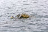 picture of mating animal  - Galapagos Sea Turtles Mating in the Ocean near Isabela Island in the Galapagos - JPG