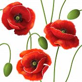 pic of poppy flower  - Seamless pattern with red poppy flowers and buds on white - JPG