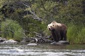 picture of grizzly bear  - Brown bear standing on rock in Brooks River - JPG