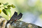 picture of bulbul  - Pycnonotus cafer - JPG