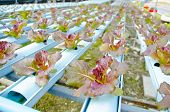 stock photo of hydroponics  - The Red batavia vegetable in hydroponic farm - JPG