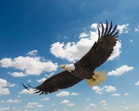 foto of eagles  - Majestic Texas Bald Eagle in flight against a beautiful blue sky - JPG