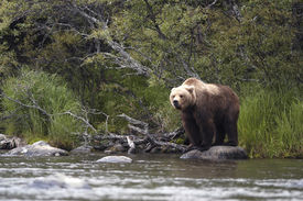 foto of grizzly bear  - Brown bear standing on rock in Brooks River - JPG